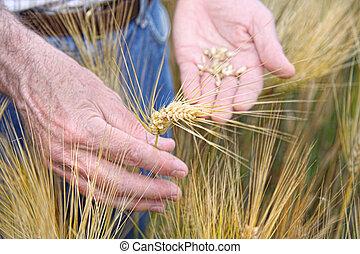 mãos, segurando, trigo