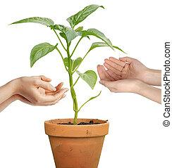 människa lämnar, holdingen, a, växande, växt, isolerat, över, vit fond
