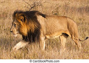 männlicher löwe, bewegung