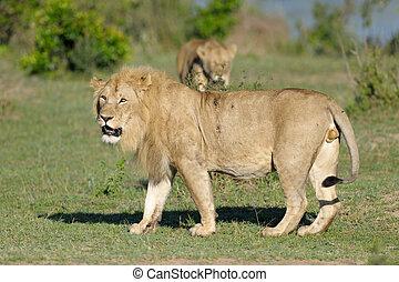 männlicher löwe, mit, weibliche , in, hintergrund.