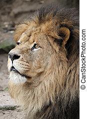 männlicher löwe, porträt
