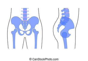 mänsklig, anatomy., bäcken