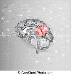 mänsklig, normal, lätt, abstrakt, grå, hjärna, bakgrund, kardiogram, sexhörning, röd