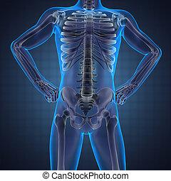 mänsklig, röntgenfotografering, avsöka