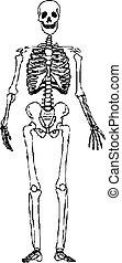 mänsklig skeleton