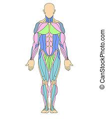 mänsklig, system, muskulös