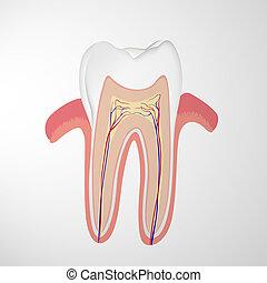 mänsklig, tand