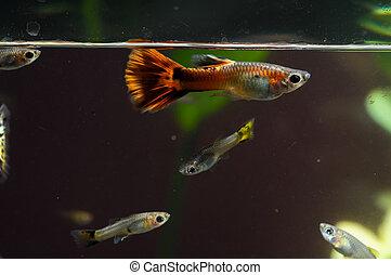 mång-, guppy, färgad, fish