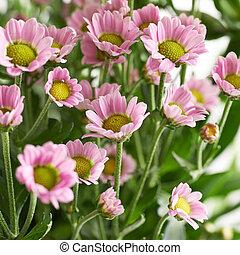 mångfald, rosa, krysantemum, blomningen