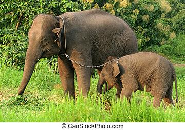 mère bébé, éléphant, à, les, chaîne, dans, norht, de, thailand.