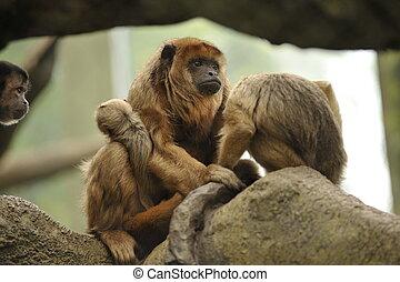 mère bébé, howler, singes, dans, arbre