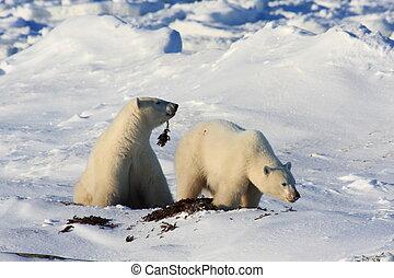 mère, petit, ours blanc
