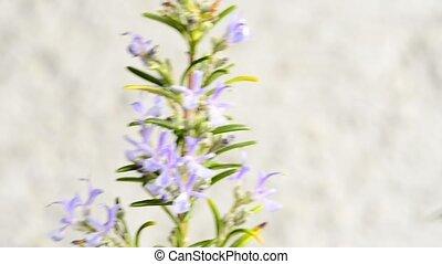 médicinal, romarin, fleur, plante, épice