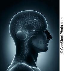 médico, amygdala, raio x, varredura