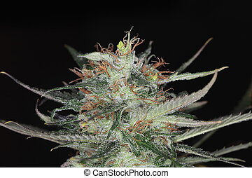 médico, flor florescente, planta maconha, marijuana