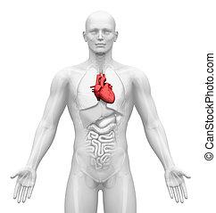 médico imaginando, -, órganos, -, corazón