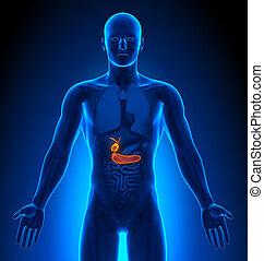 médico imaginando, -, macho, órganos, -, vesícula biliar, /, páncreas