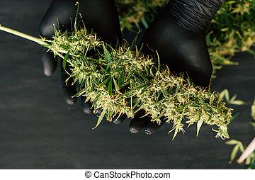 médico, mãos, broto, grande, cultivar, fresco, cannabis, conceitos, cima, crescer, colheita, grower, homem, fim, marijuana