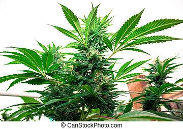 médico, urbano, crescer, marijuana