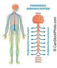 médico, vector, cuerda, espinal, nerves., cerebro, sistema nervioso, ilustración, periférico, diagrama