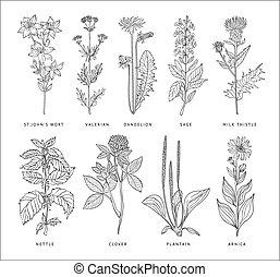 médico, vector, estilo, hierbas, set., hannddrawn