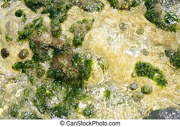 méditerranéen, vert, algues, algue