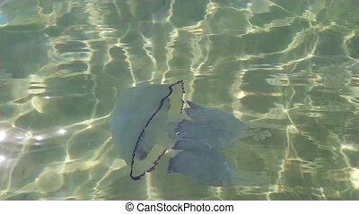méduse, water., flotter, clair, mer