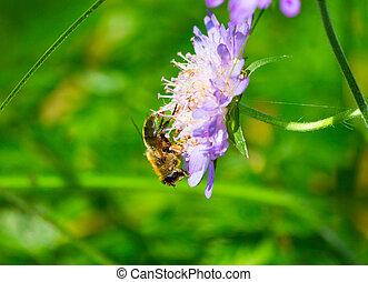 méh, képben látható, egy, virág