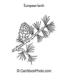 mélèze, cône, branche