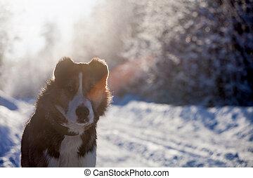 mélangé, champ, race, hiver, chien
