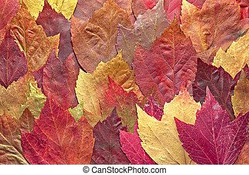 mélangé, feuilles automne, érable