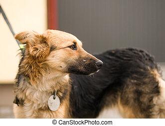mélangé, portrait, race, extérieur, chien
