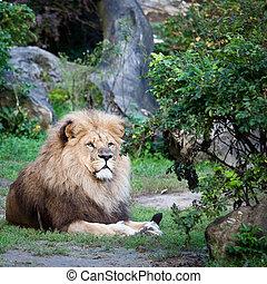 méltóságteljes, oroszlán