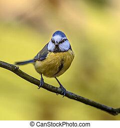 mésange bleue, automne, frontal