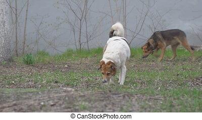 métis, chien marche, cols, deux