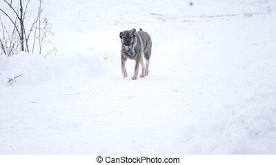 métis, courant, chien domestique, neige