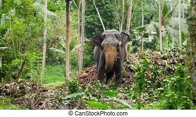 métrage, éléphant, jungle, sri, debout, indien, lanka, forêt...