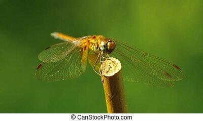 métrage, darter, jaune, insecte, ailé, libellule