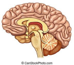mózg, boczny, poddał drobiazgowej analizie, prospekt