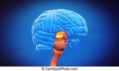 mózg, część, -, pacierzowy