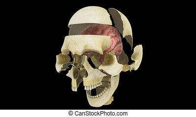 mózg, czaszka