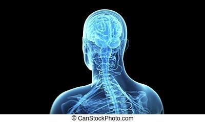 mózg, ludzki, nerw