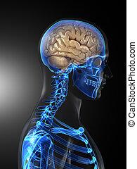 mózg, medyczny, ludzki, skandować