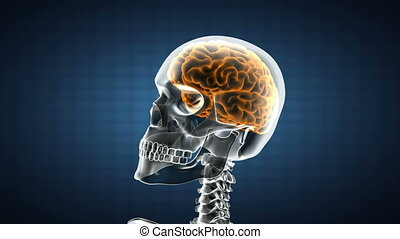 mózg, radiografia, ludzki, skandować