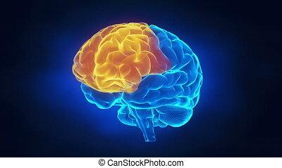mózg, strony, ludzki