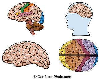 mózg, wektor, ludzki