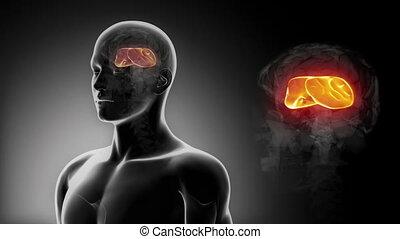 mózg, x-r, anatomia, callosum, samiec