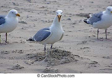Möwe, Sea gull - Möwe mit offenem Schnabel//Sea gull with...
