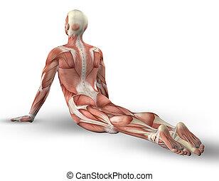 músculo, 3d, figura masculina, postura, yoga, mapa