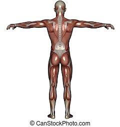 músculo, 3d, hombre